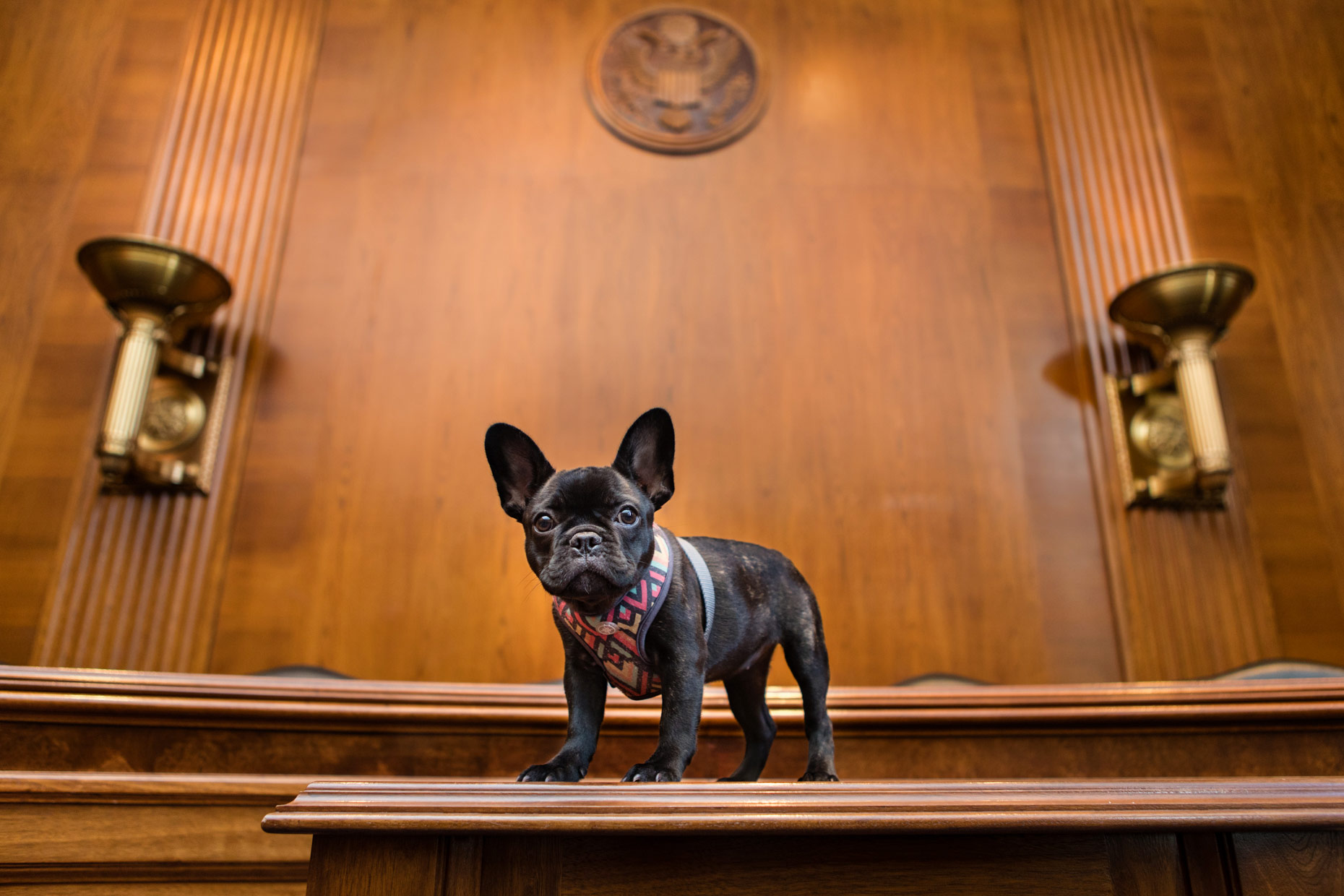 Office Dogs of Capitol Hill: Brie the French Bulldog