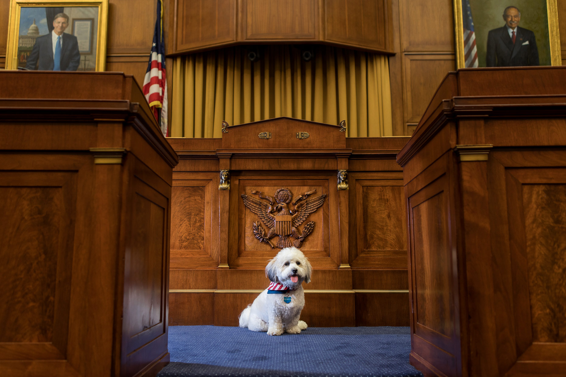 Office Dogs of Capitol Hill: Bently the Shichon