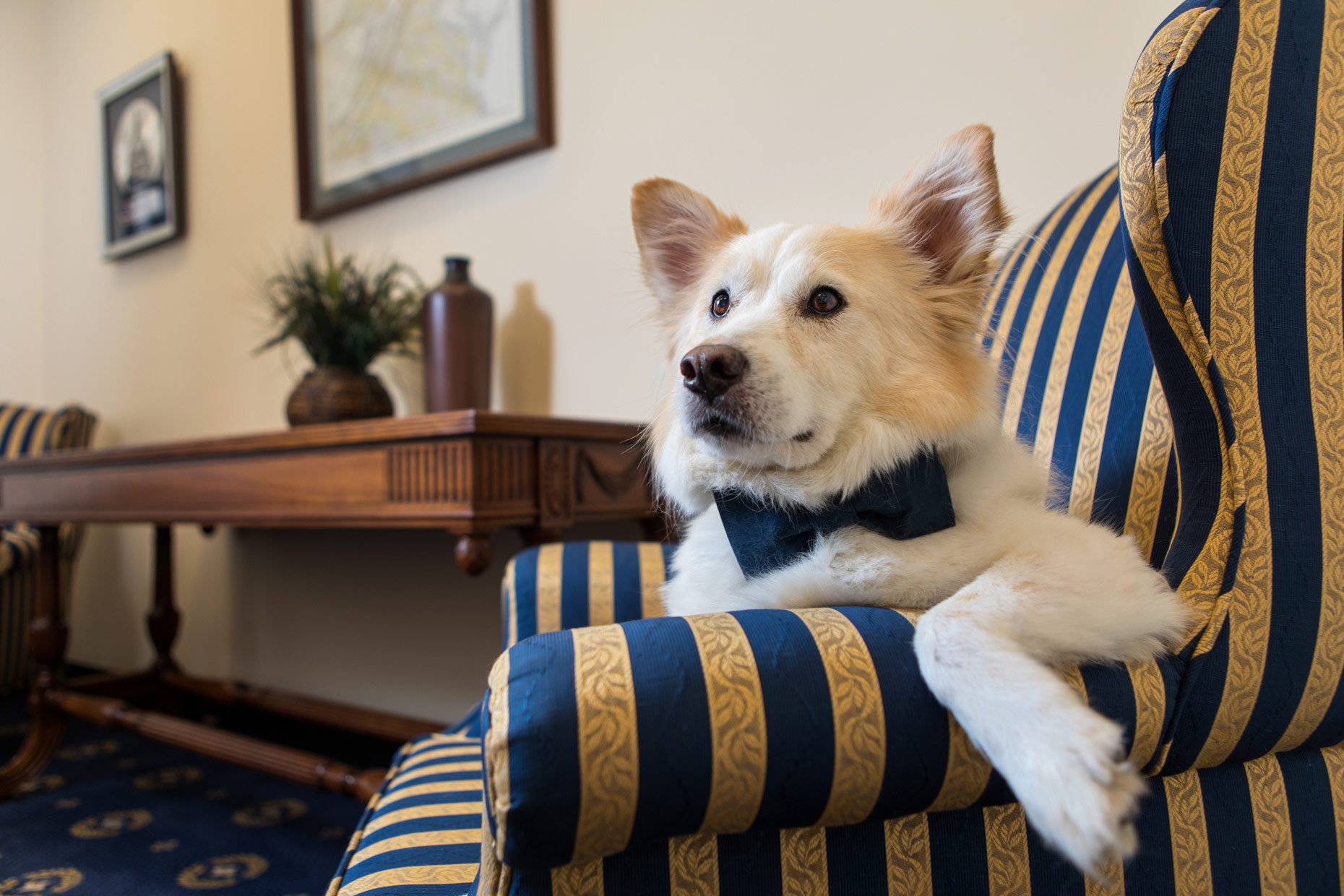Office Dogs of Capitol Hill: Scobey the Collie / Corgi mix