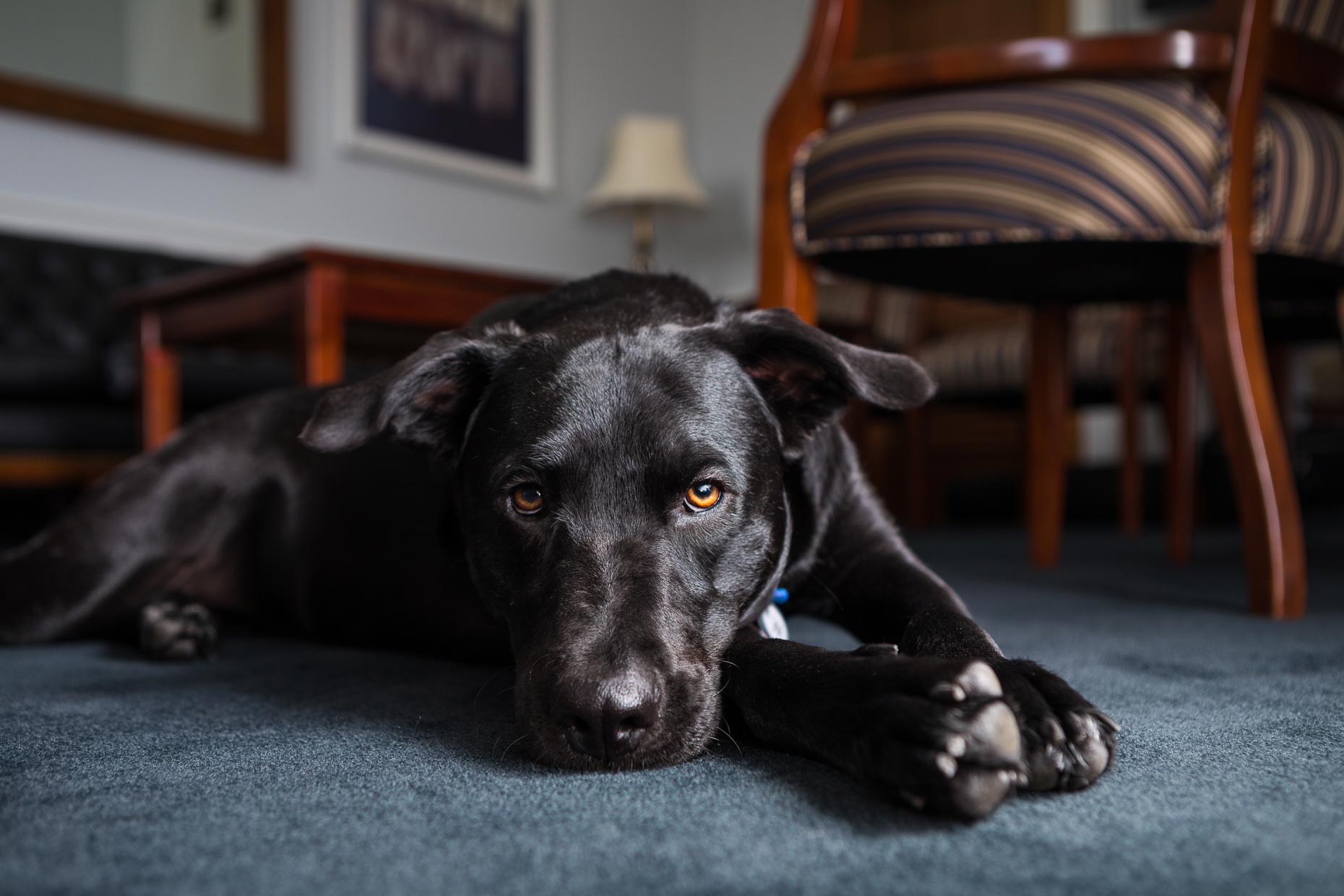 Hattie | Office Dogs of Capitol Hill