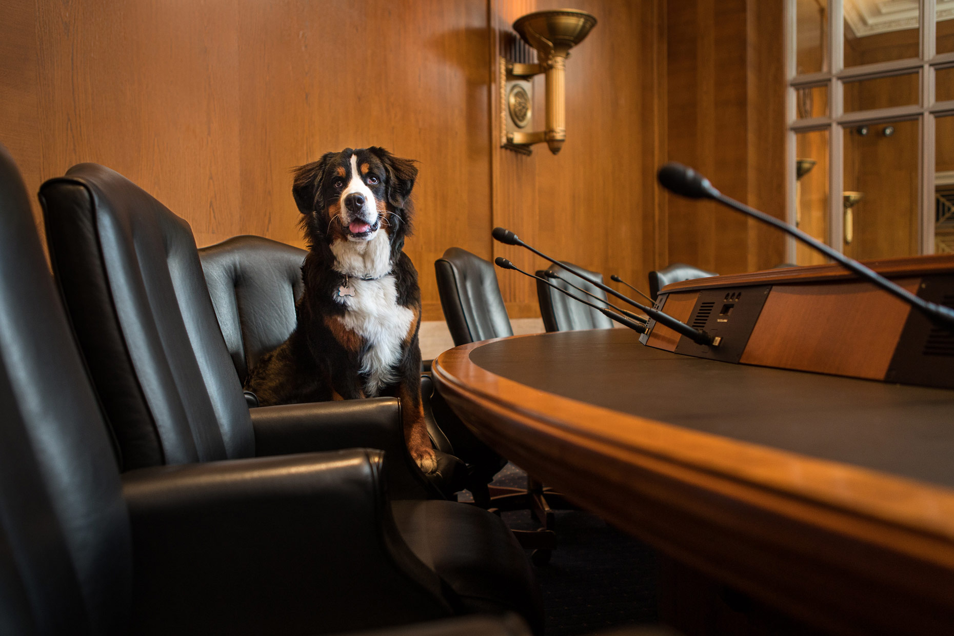 Office Dogs of Capitol Hill: Hugo the Bernese Mountain Dog
