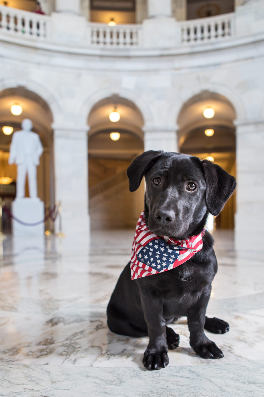 Office Dogs of Capitol Hill: Seneca the Lab mix puppy