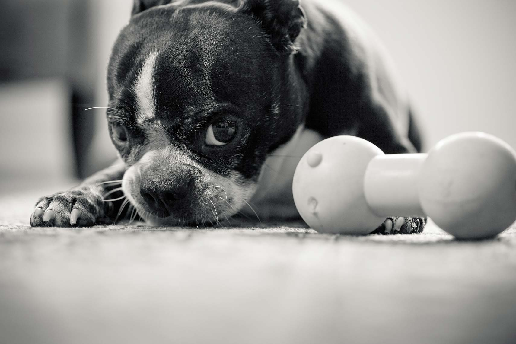 Boston Terrier - Dogs