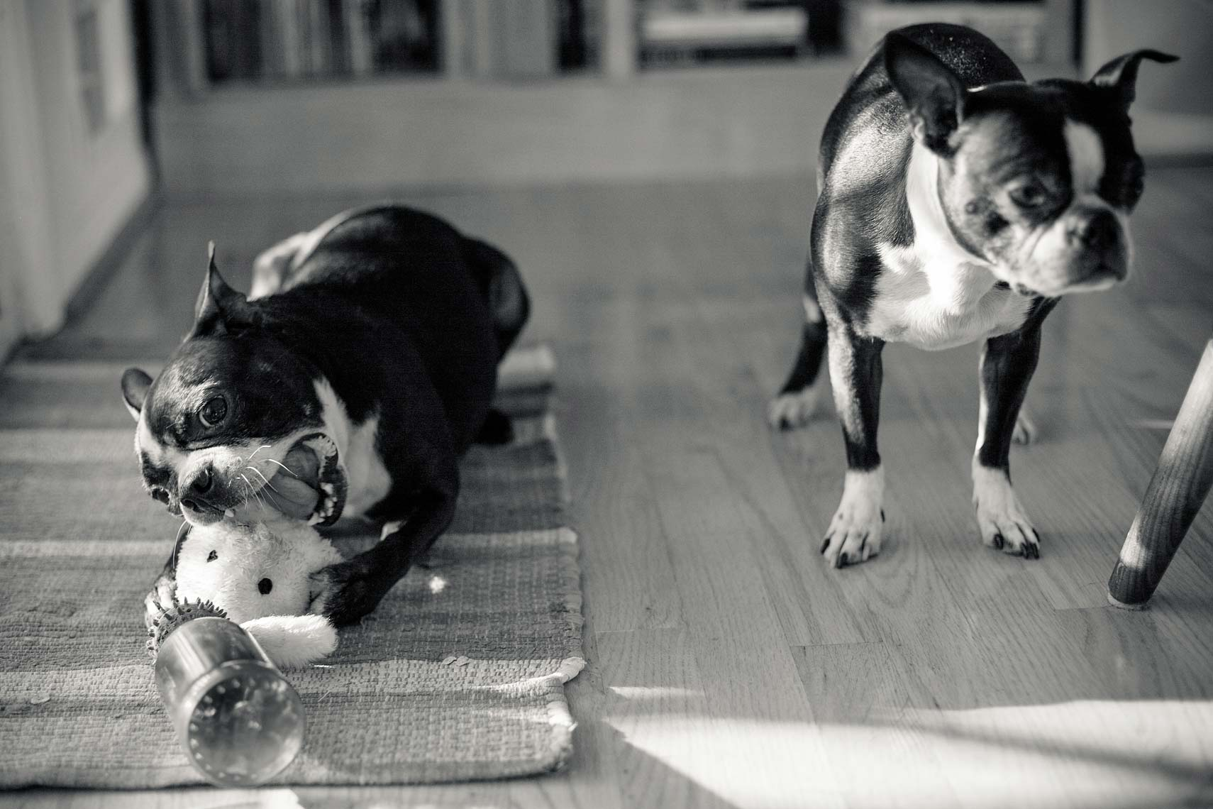 Boston Terrier - Dog Photographer Washington DC + VA
