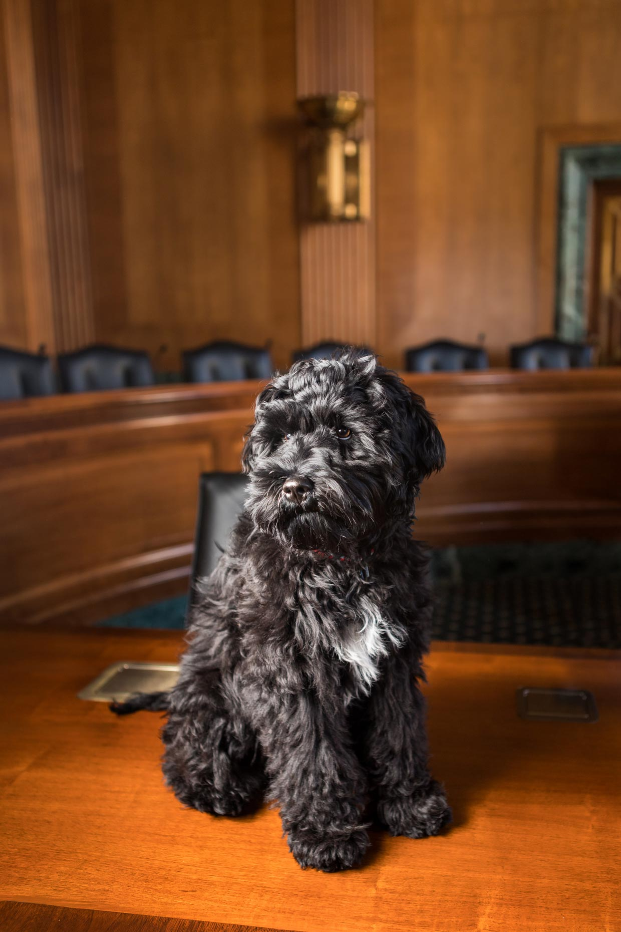 Office Dogs of Capitol Hill: Bodhi the Golden Doodle puppy
