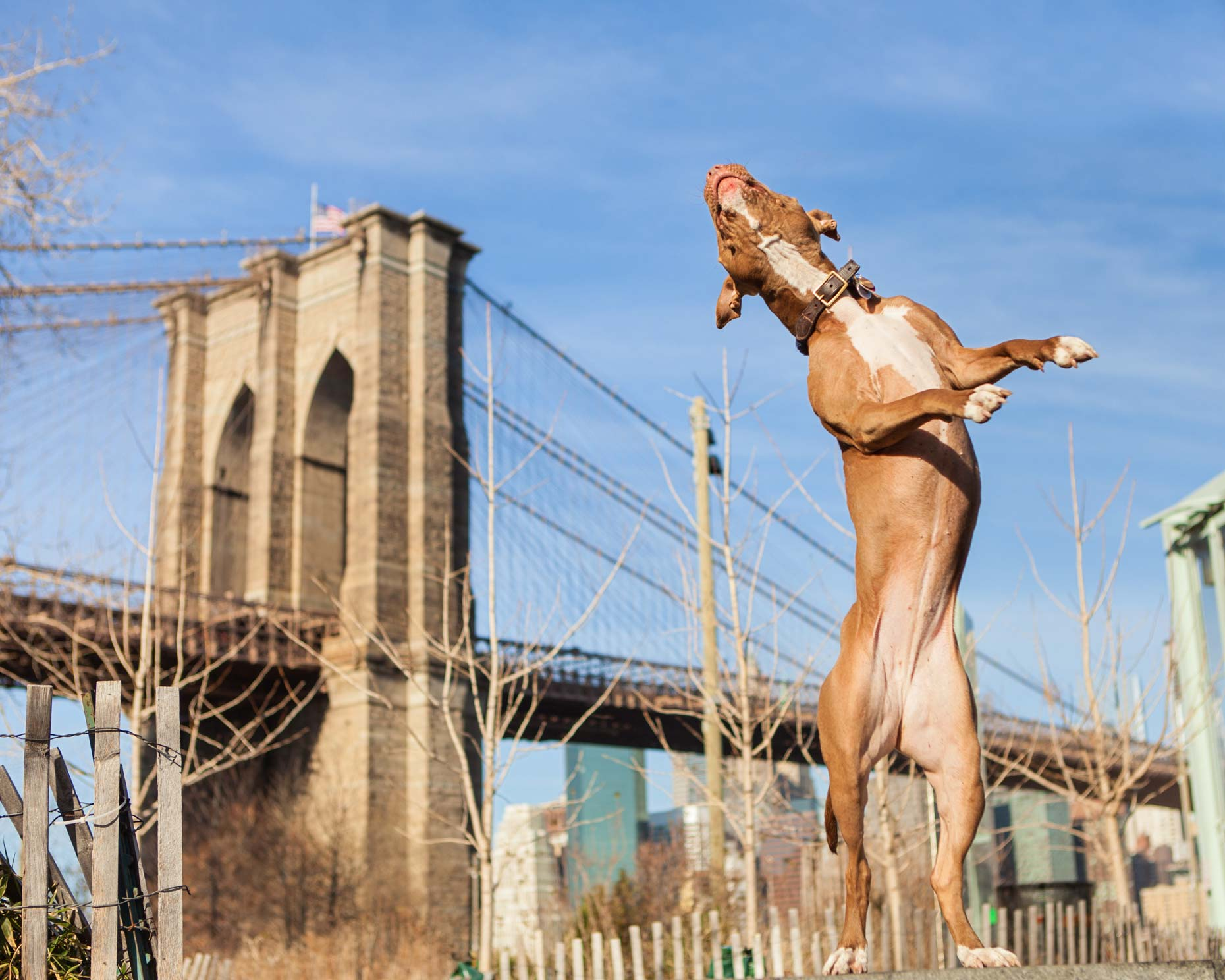 Brooklyn Pit Bull | Lifestyle + Documentary Dog Photographer | Hannele Lahti