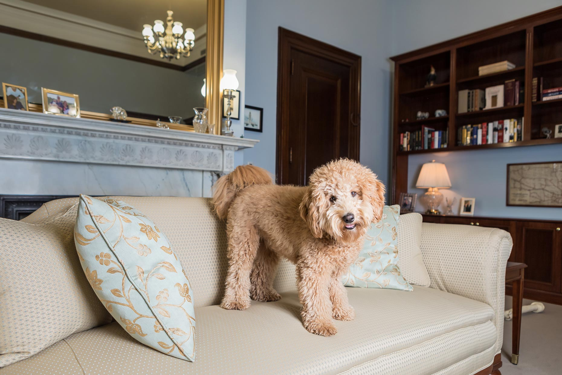 Office Dogs of Capitol Hill: Fred the Golden Doodle
