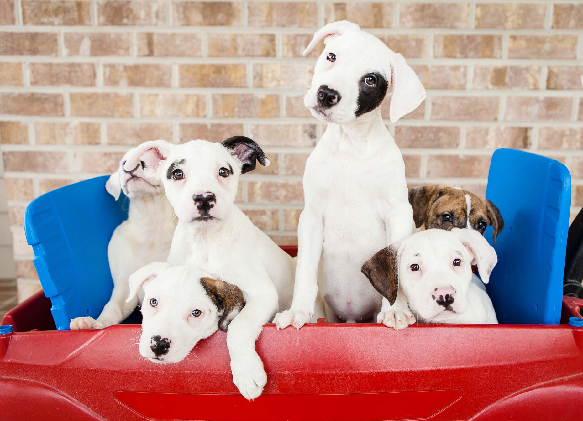 Boxer Mix Puppies :: Commercial Dog Photographer