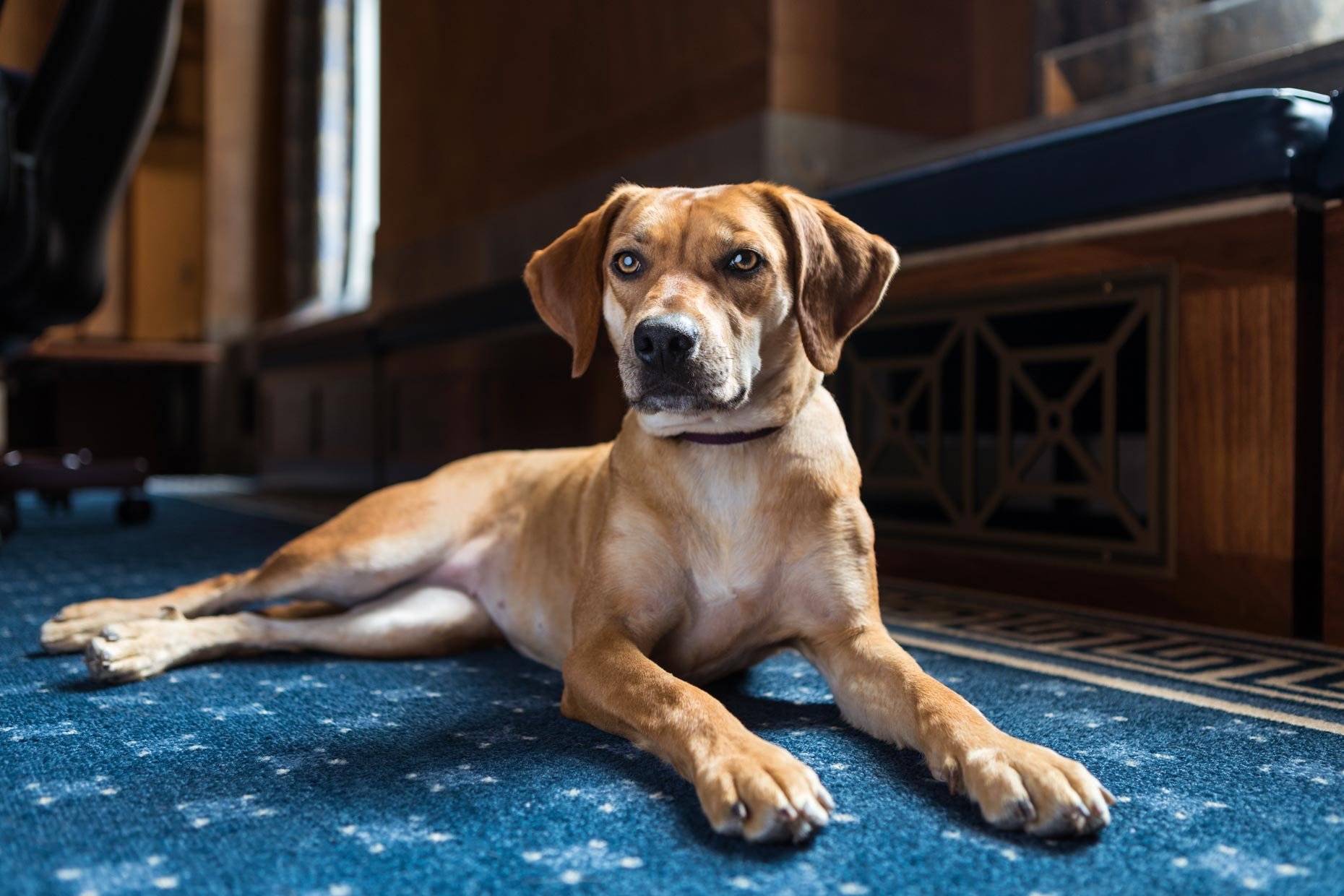Office Dogs of Capitol Hill: Honey the Beagle/Boxer mix