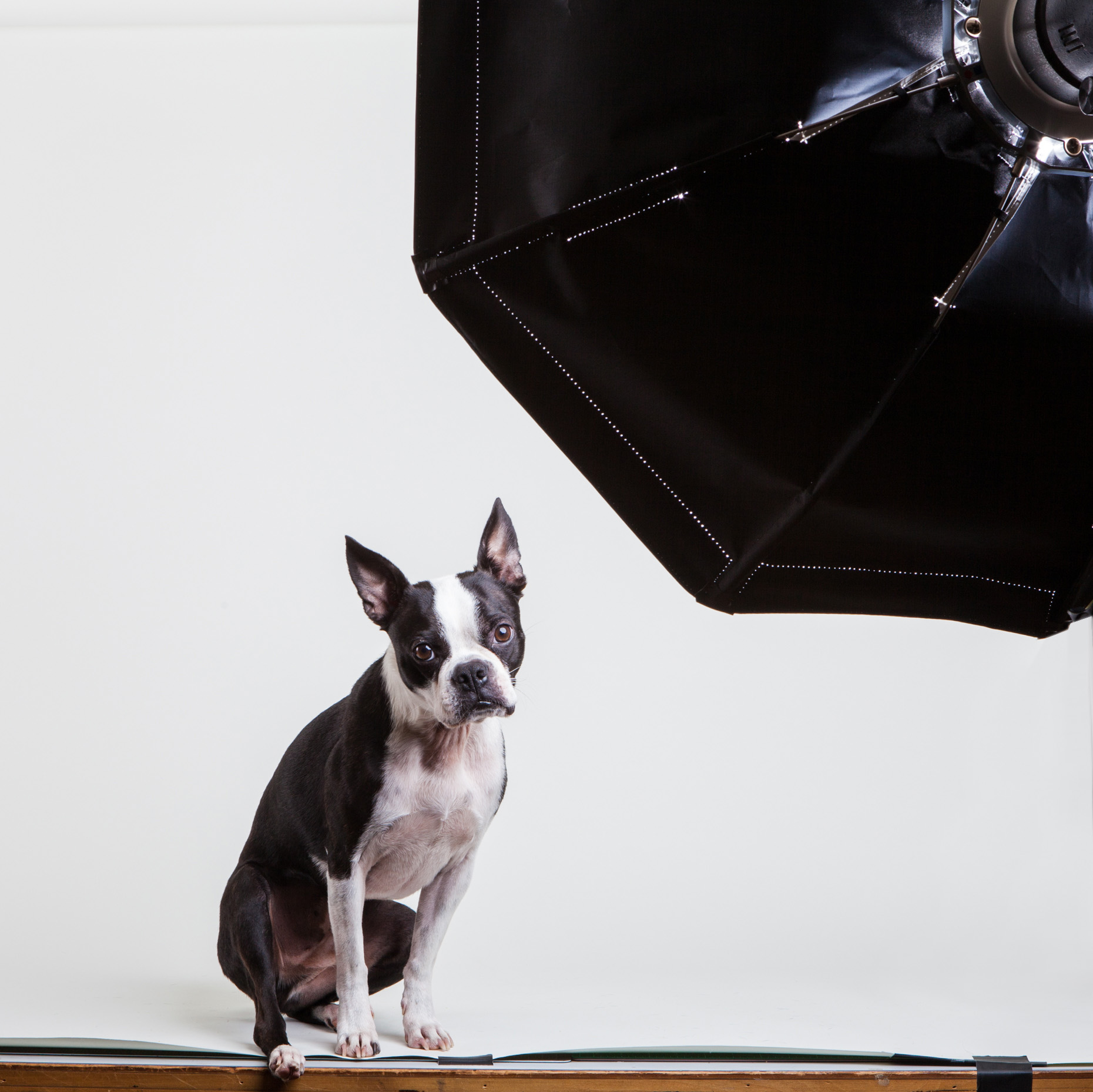 Studio Shoot with Ollie│Lifestyle Dog Photographer│ Hannele Lahti│ Washington DC, VA