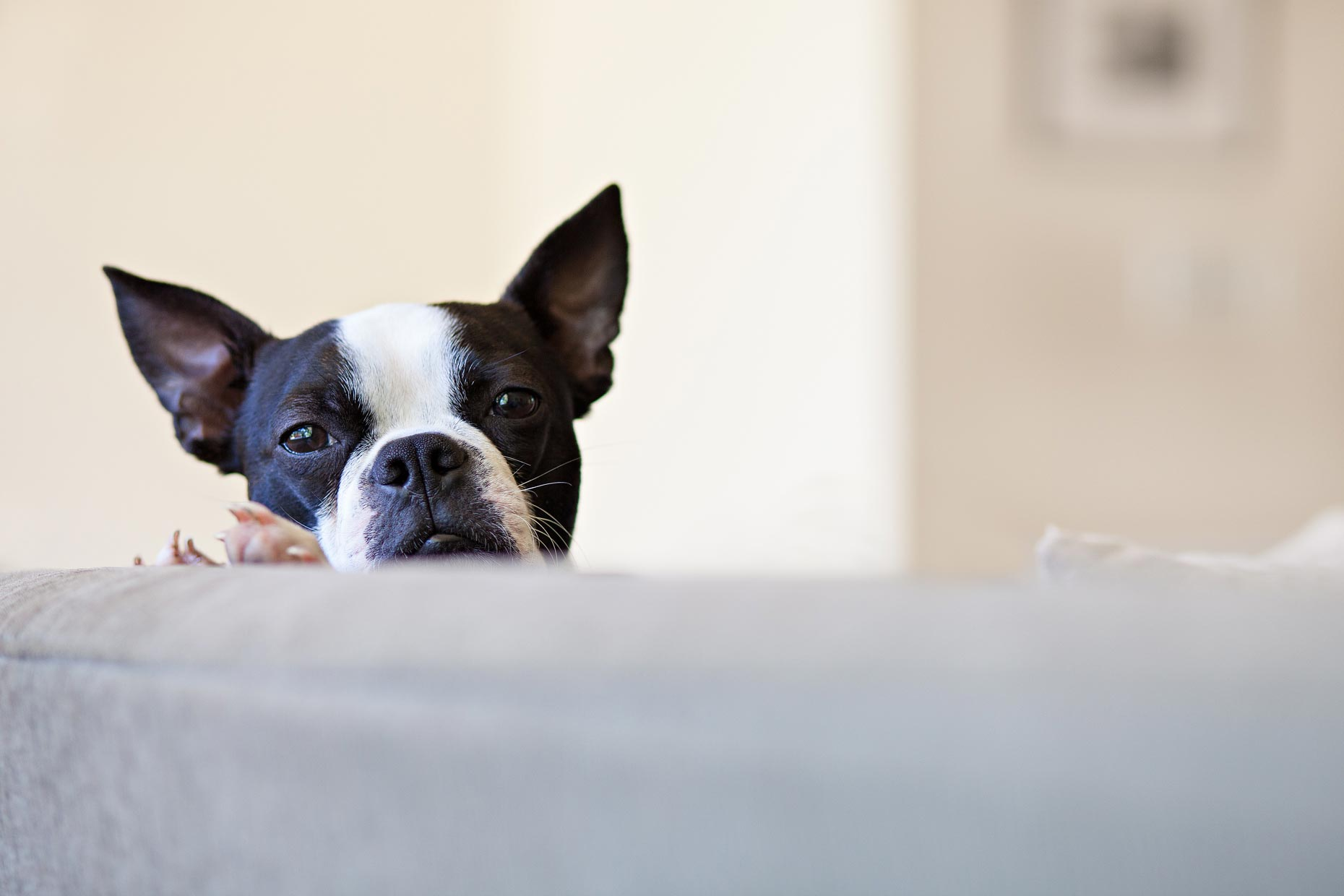 Boston Terrier | Lifestyle + Documentary Dog Photographer - Washington DC