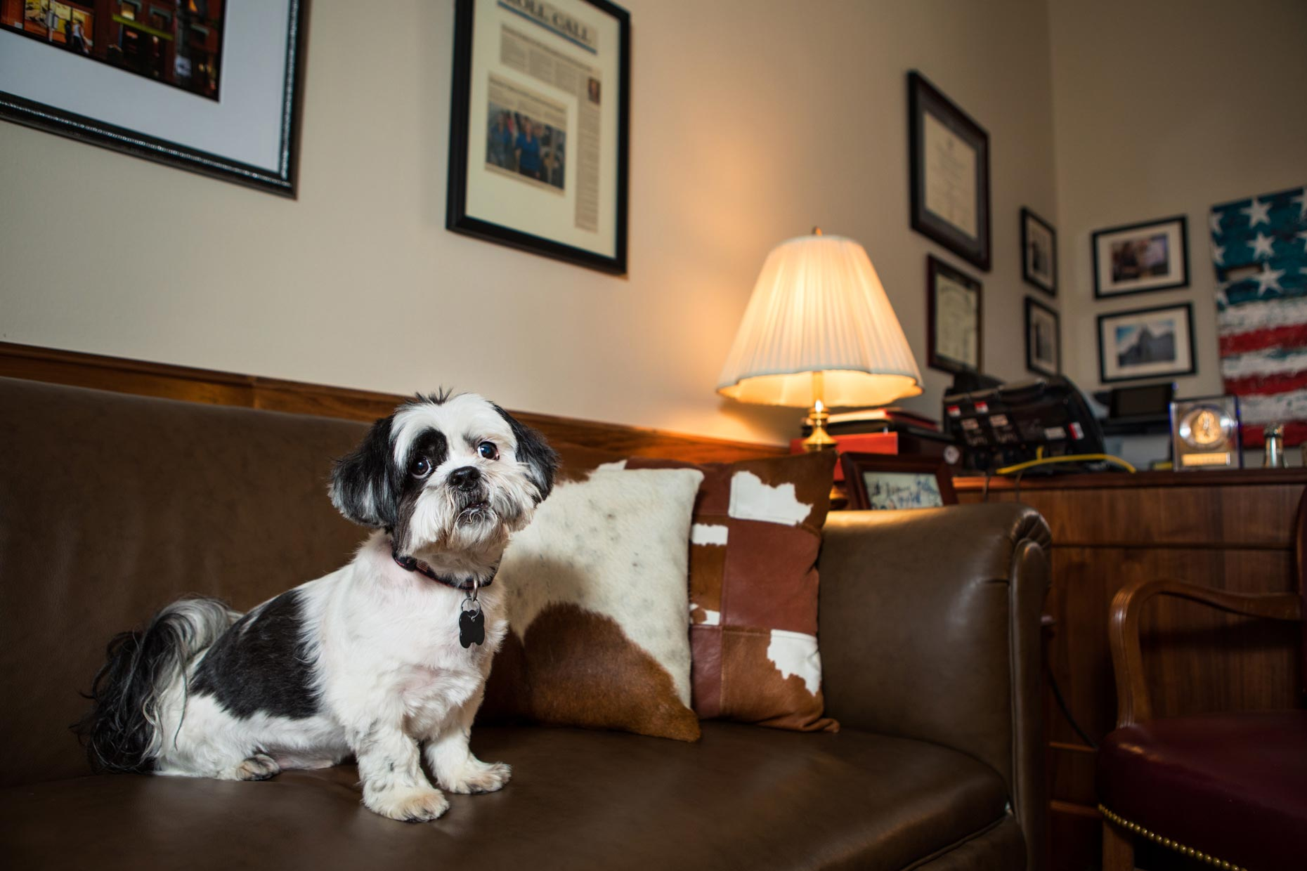 Office Dogs of Capitol Hill: Rocco the Shih Tzu