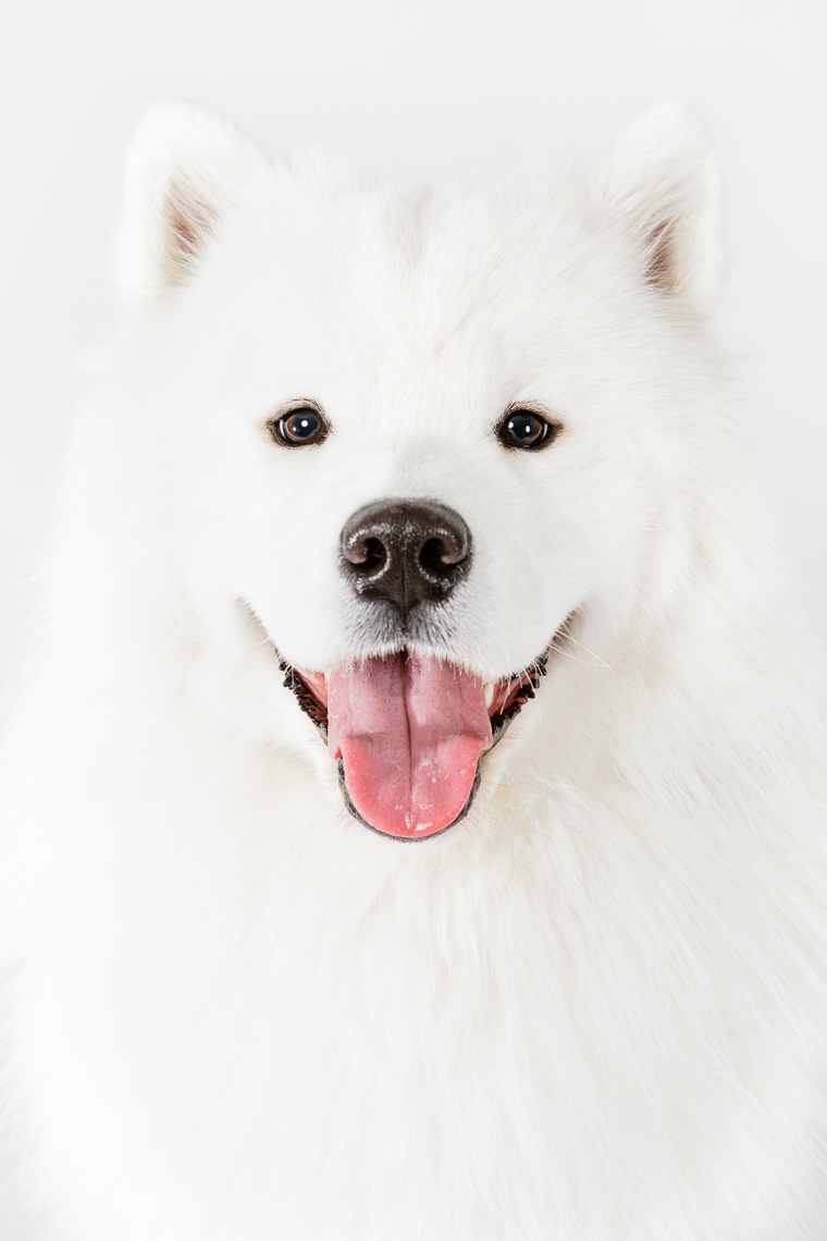 Samoyed  | Washington DC Lifestyle Dog Photographer | Studio Portrait