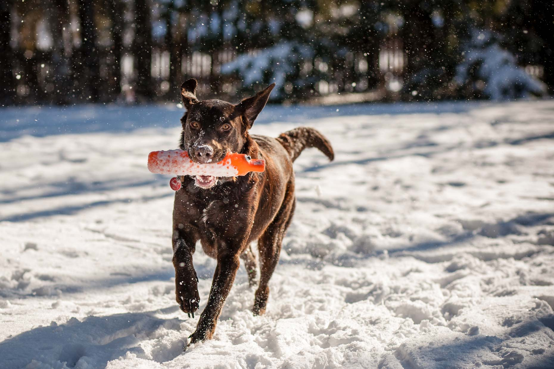Chocolate Lab in Maine | Lifestyle + Documentary Dog Photographer | Hannele Lahti