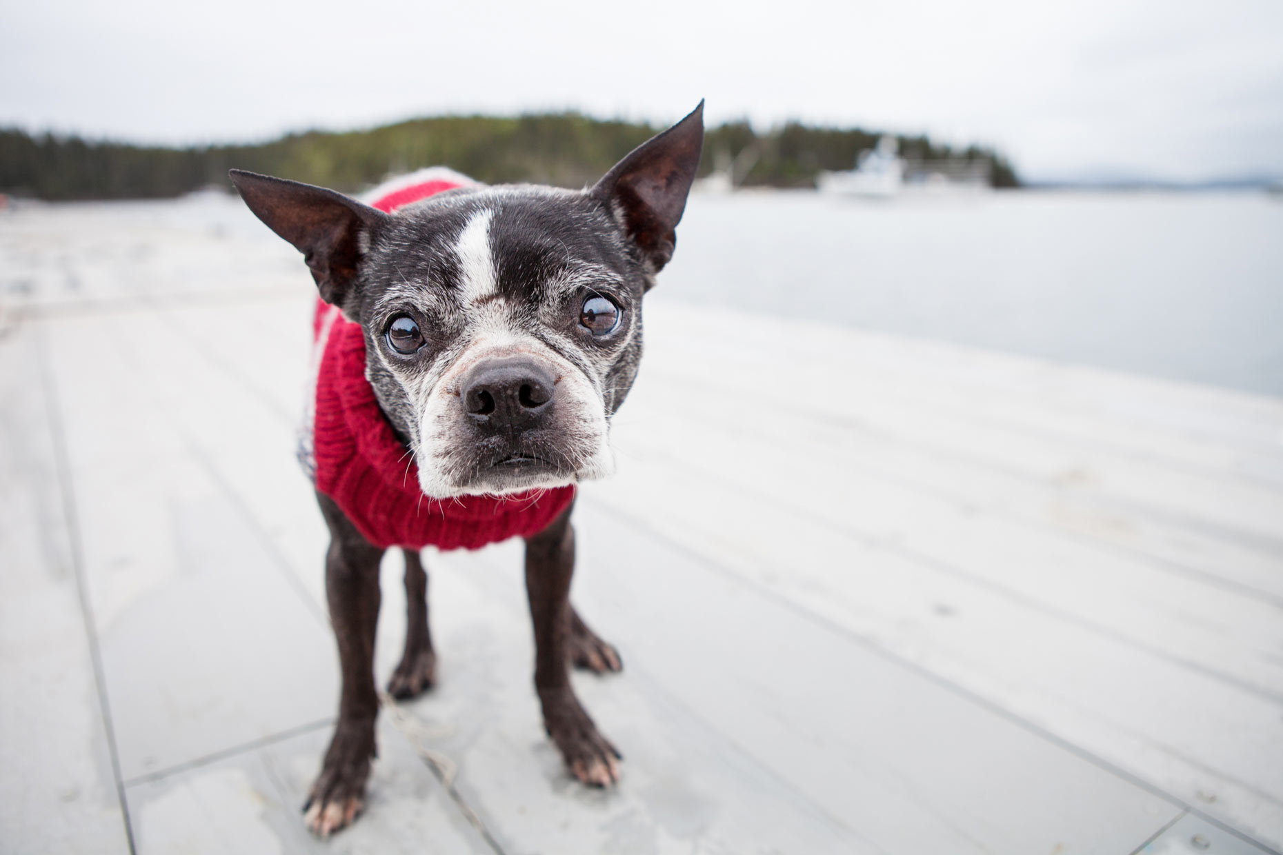 Boston Terrier | Lifestyle + Documentary Dog Photographer - Maine