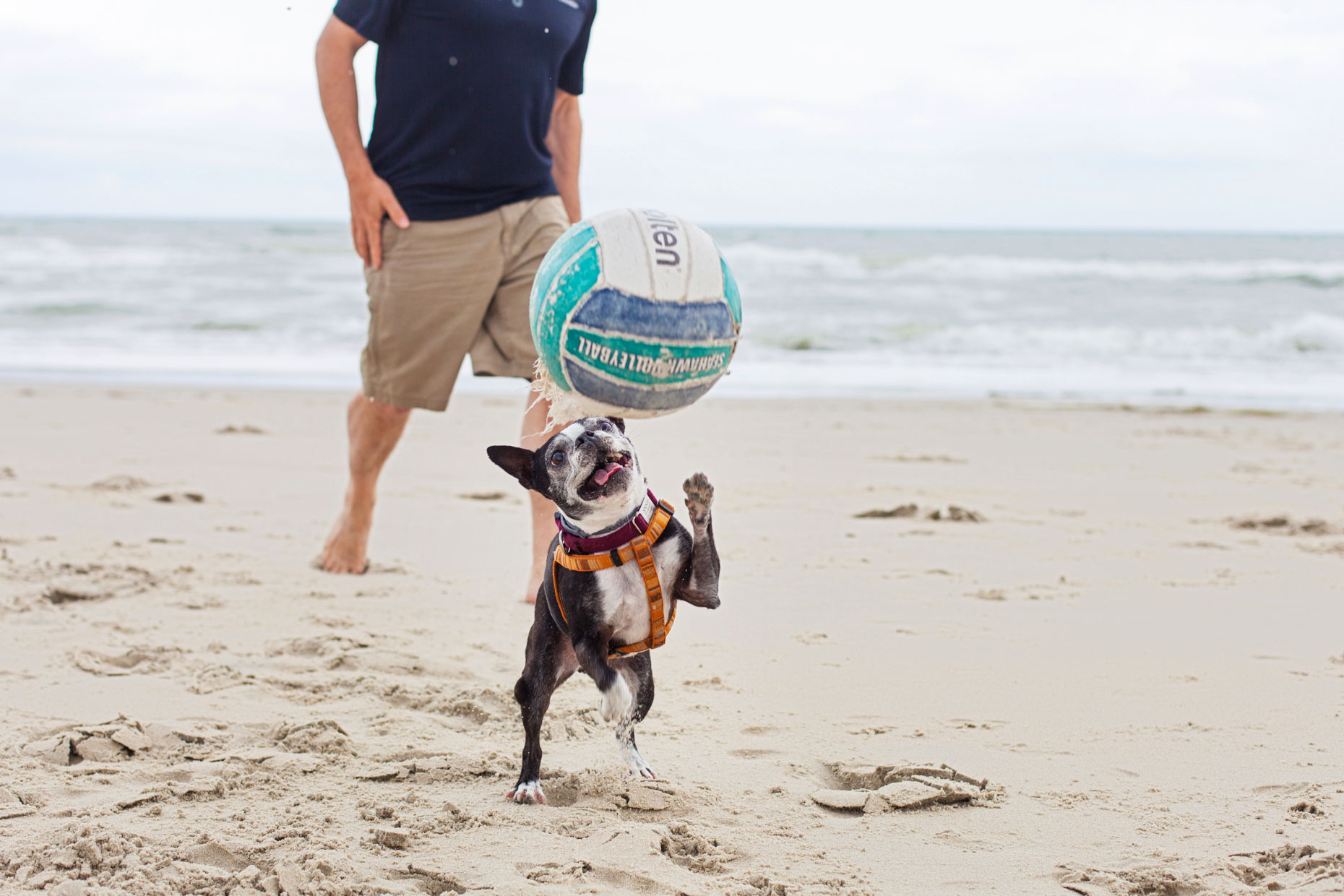 Boston Terrier Beach Babe | Lifestyle + Documentary Dog Photographer | Hannele Lahti