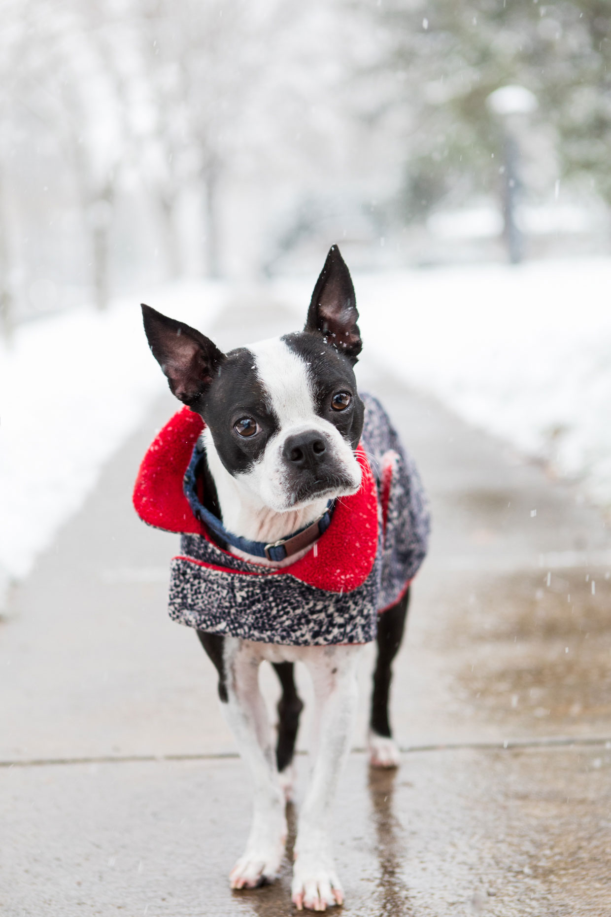 Boston Terrier | Commercial + Lifestyle Dog Photographer | Hannele Lahti