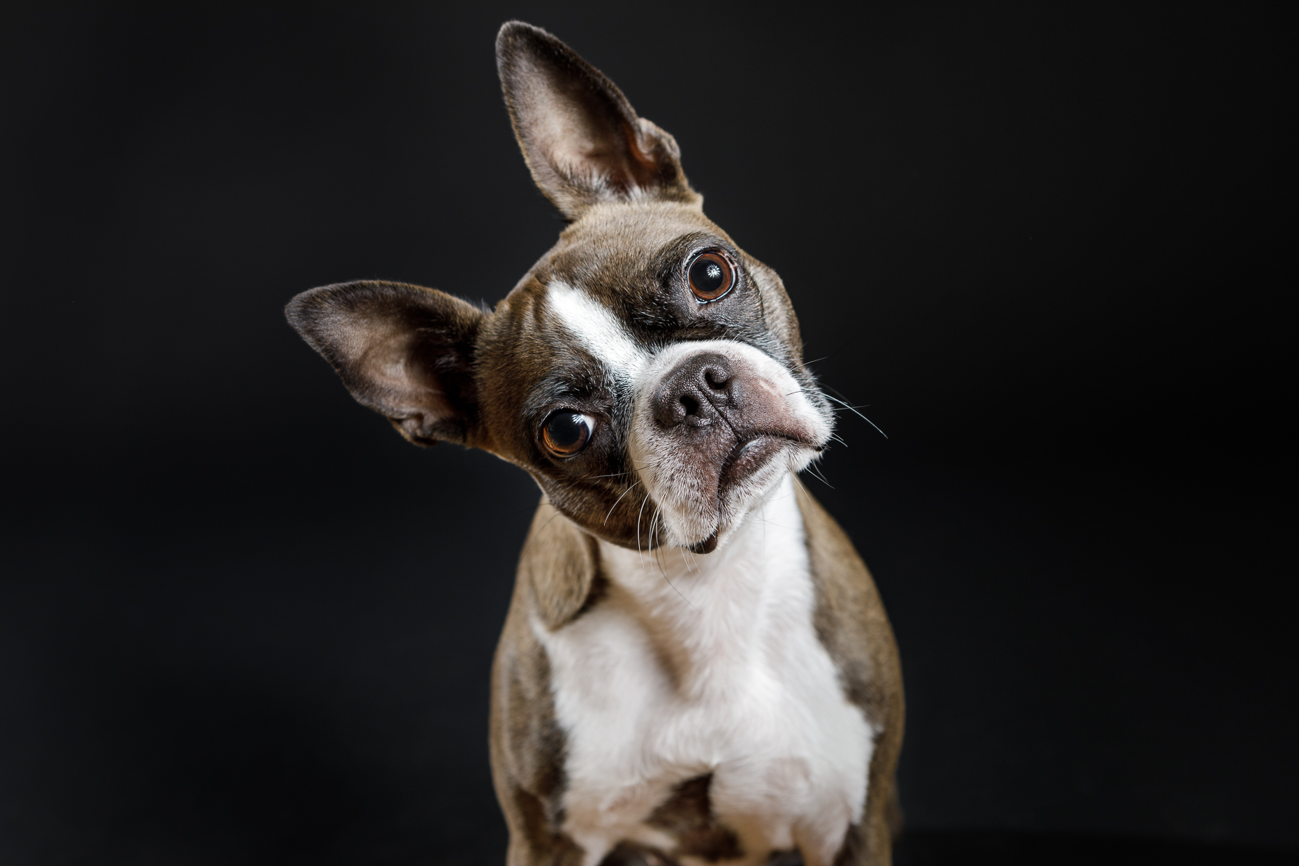 Fawn Boston Terrier  | Washington DC Lifestyle Dog Photographer | Studio Portrait